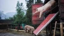 天猫扶持地方品牌举办阅猪式 新年可以吃到最新鲜土货